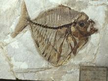 fossili Museo Bolca - mene rombea